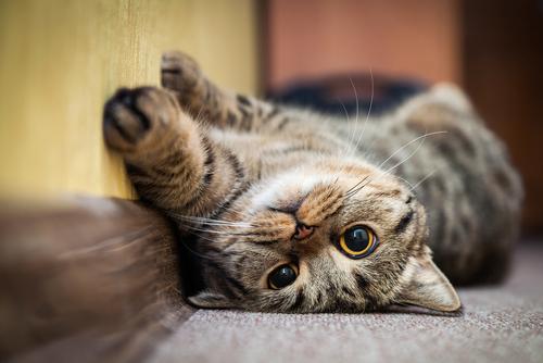 เกิดอะไรขึ้นถ้าแมวไม่นอนตอนเที่ยงคืน? สอนให้คุณห้าวิธีในการเปลี่ยนนาฬิกาทางสรีรวิทยาของแมว