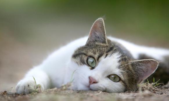 ทำไมแมวถึงฝังตัวอยู่ในทรายเสมอพวกมันสะอาดจริงๆหรือ