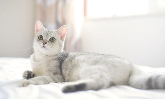 ความเจ็บปวดหลังความน่ารักทรมานข้อบกพร่องทางพันธุกรรมในชีวิตของแมวที่ถูกจีบ