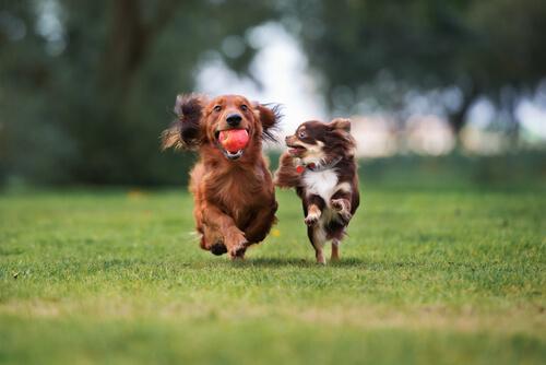 สุนัขสามารถหาทางกลับบ้านได้หรือไม่ต้องแน่ใจว่าปลูกชิปไว้แล้ว!