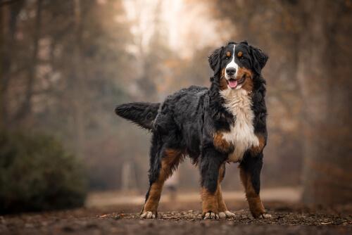 ตีความสัญญาณหางกระดิกของสุนัขหมายความว่าอะไรที่ถูกต้องจากซ้ายไปขวา