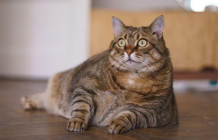 แมวที่มีน้ำหนักเกินจะไม่ดีต่อสุขภาพของพวกเขา